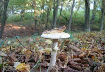 Najbardziej trujące grzyby: zdjęcia i opis