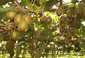 Come coltivare kiwi in casa? propagazione dei semi