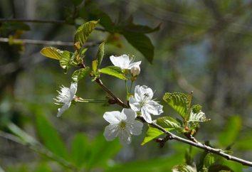 Cherry Leningrado Nero: descrizione, risposte. Cherry Leningrado nero: la semina e la cura
