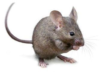 Che cosa diciamo al libro dei sogni? sognare mouse – che cos'è?