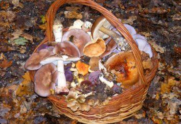 Wie die Pilze behandeln? Wie die frischen Pilze zu handhaben