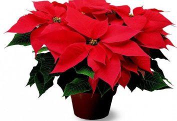 """""""Stella di Natale"""" – fiore poinsettia"""
