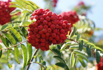 Rowan: varietà e specie, le piante, crescendo. proprietà Rowan