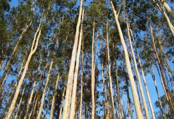 Korzystanie z eukaliptusa: siłą napędową drzewa sto metrów