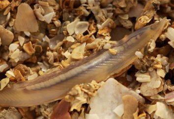 Ciò che è comune nella dieta di Amphioxus e crostacei: Caratteristiche comparative