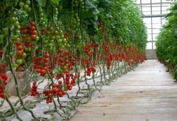 Pomidory w szklarni. subtelności uprawy