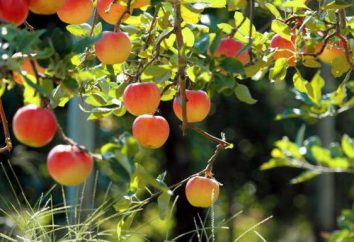 L'innesto di mele in maniglia agosto e altri metodi