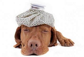 Cómo hacer que el vómito de perro? Cómo ayudar a su mascota en caso de envenenamiento?