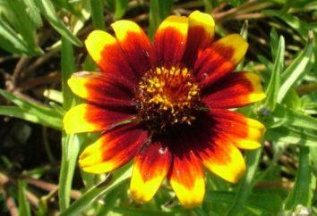 calendule Magnifico: semina e la cura