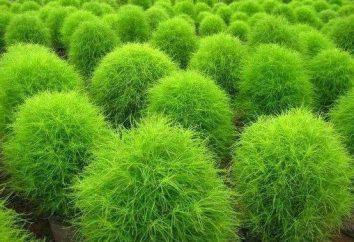 Kochia coronale: description, photos, plantation de semis et de soins