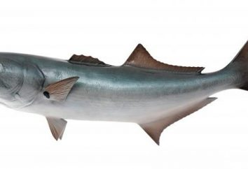 Bluefish de poissons: description, habitudes et importance industrielle