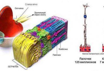 Retina: La funzione e struttura. la funzione della retina dell'occhio