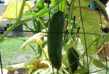 Podmoskovny ogórek: sadzenie i pielęgnacja