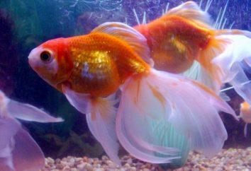 Poisson rouge dans un aquarium – un symbole de confort et de paix