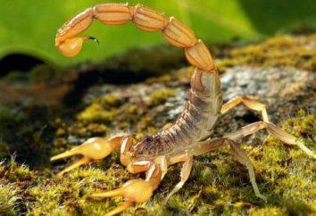 insecte étonnant – scorpions