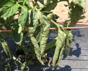 Twist Tomatenblätter. Was zu tun ist?