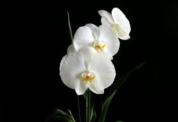 Orquídea – un vampiro de energía, o ¿Dónde están los delirios