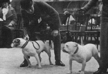Rasa psów Buldog amerykański: Opis i cechy, szczenięta, Cena, Zdjęcie