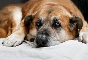 Smark u psów: objawy, zwłaszcza leczenie i porady specjalistów