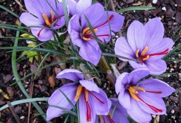 flores inusuales: el azafrán (Crocus)