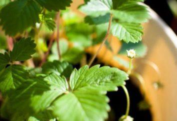 Prawidłowe sadzenie jesienią Victoria: dbać o początku żniw