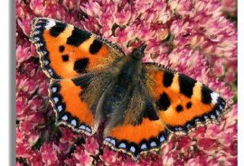 Ordinaria e straordinaria eruzione farfalla