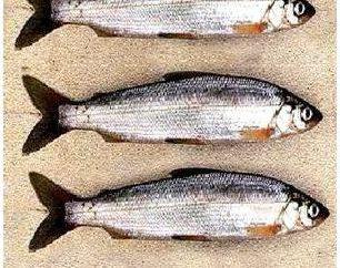 Ryby tugunok: opis, właściwości użytkowe, które można znaleźć i jak złapać