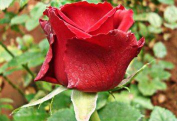 Dutch Rose – un fiore per tutti