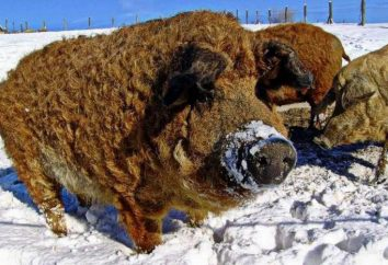 Karmal – race des porcs avec la viande la plus délicieuse