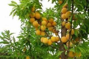 varietà gialle popolari di prugne