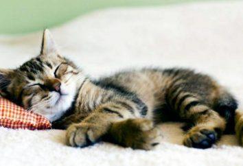 Dlaczego koty dużo spać? Dlaczego kot nie jeść dużo i śpi