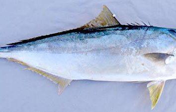 Lakedra (pesce): Descrizione, ricette