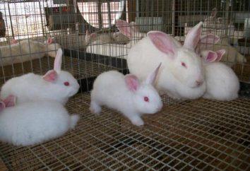 Por coelho come seus coelhos? O que para alimentar uma corça depois de acender? a criação de coelhos