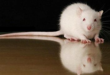 Jak dbać o dekoracyjnych szczur? Top imiona dla szczurów