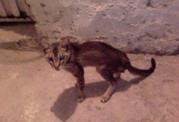 Lice chez les chats – une maladie parasitaire dangereuse