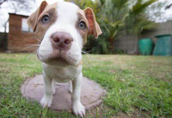 ¿Cuántas veces al día para alimentar a los cachorros: reglas de la oferta y recomendaciones