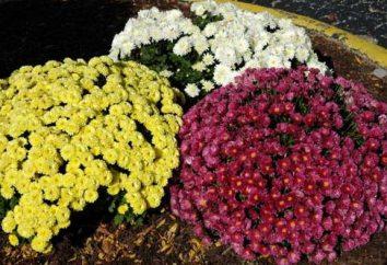 chryzantemy ogrodowe stają się kolorowe dekoracji jesienią