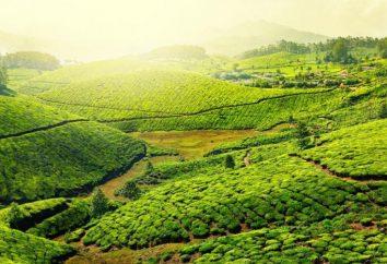 Chá verde contra a pressão sanguínea. O efeito do chá verde na pressão