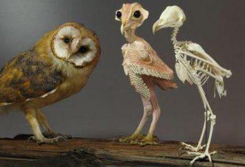 Esqueleto da coruja: características estruturais. O aparecimento de um mocho