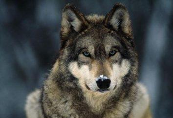 Interpretazione dei sogni: il sogno di lupi che cosa si vedono?