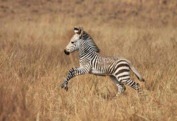 Zebra nova. Habitat e modo de vida