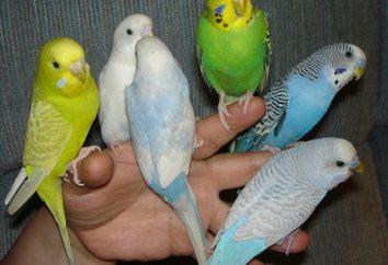 Como escolher um passarinho. dicas simples