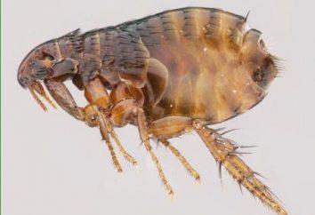 insectos chupadores de sangre: los mosquitos, tábanos, tábanos, garrapatas, pulgas, piojos, mosquitos. remedios