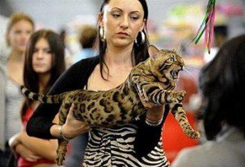 Bengala raza de gato: un leopardo salvaje con un carácter angelical