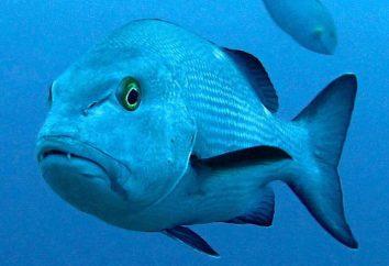 Ryby zamku: opis, charakterystyka