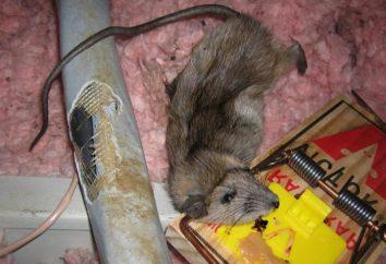Como se livrar de ratos e habitação segura