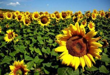 Die wichtigsten jährlichen Pflanzen. Anwendungsbeispiele in der Landwirtschaft und Landschaftsgestaltung