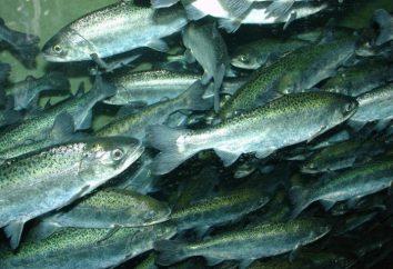 """Czawysza ryby – """"Salmon Książę"""""""