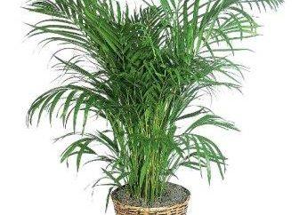 Comment s'occuper d'un palmier à la maison. Recommandations utiles