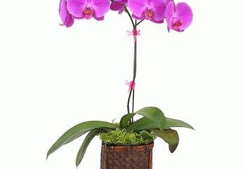 Come propagare le orchidee in casa